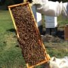 A frame of bees from one of the hives
